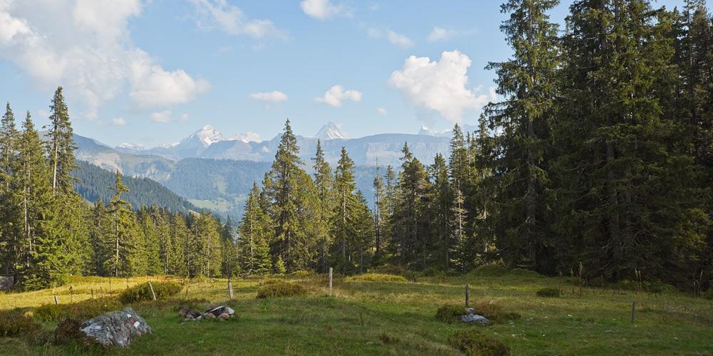 Die Berner Alpen hinter Nadelwäldern