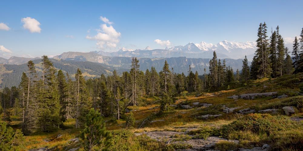Berner Alpen und Nadelwälder