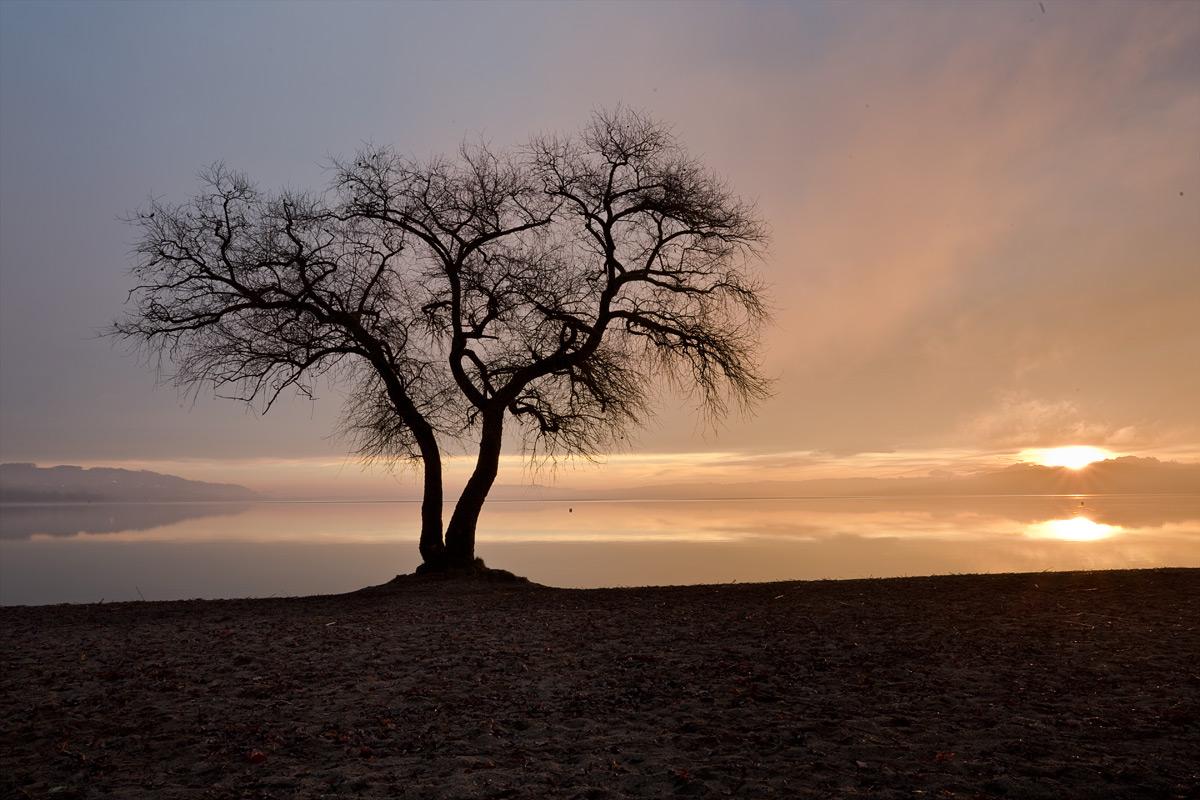 Baum bei Salavaux am Murtensee