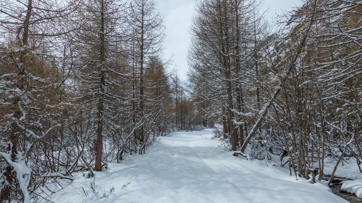 Lärchenwald bei Ferpecle